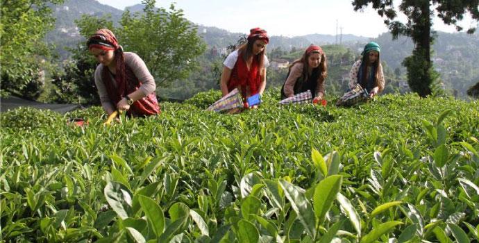Yaş çay taban fiyatı açıklandı