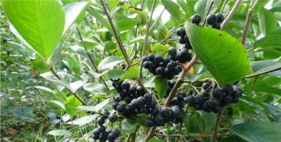 Meyve üretiminde yeni ümit: Aronya